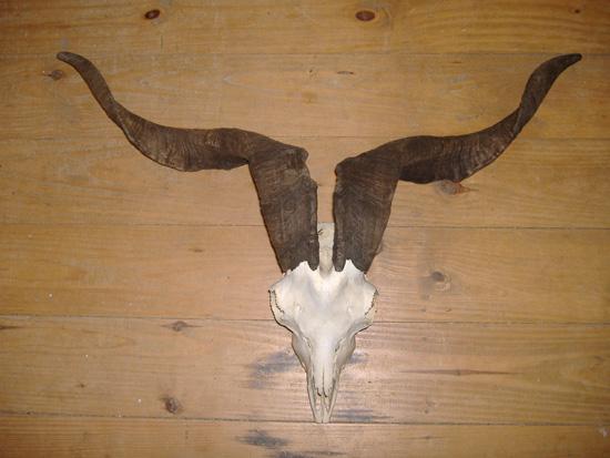 Mountain goat skull - photo#28