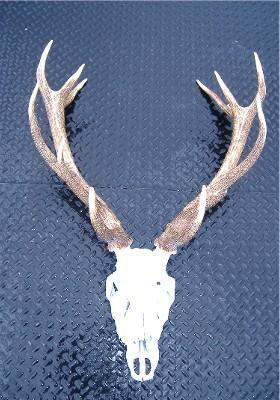 Red Deer Trophy Skull