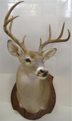 Whitetail Trophy Mount